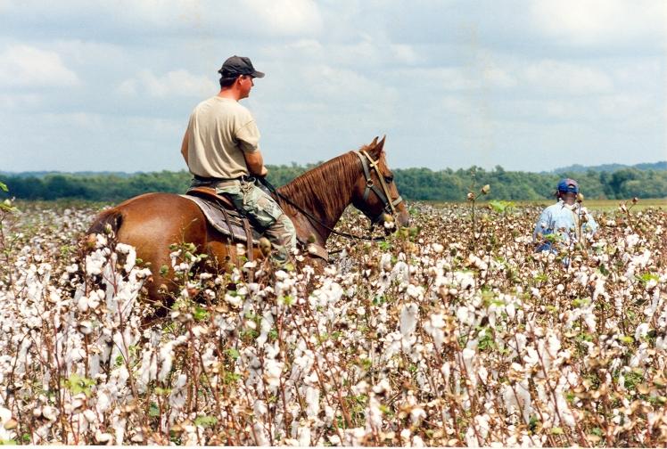 Cotton Picking Farm Line 16 1998